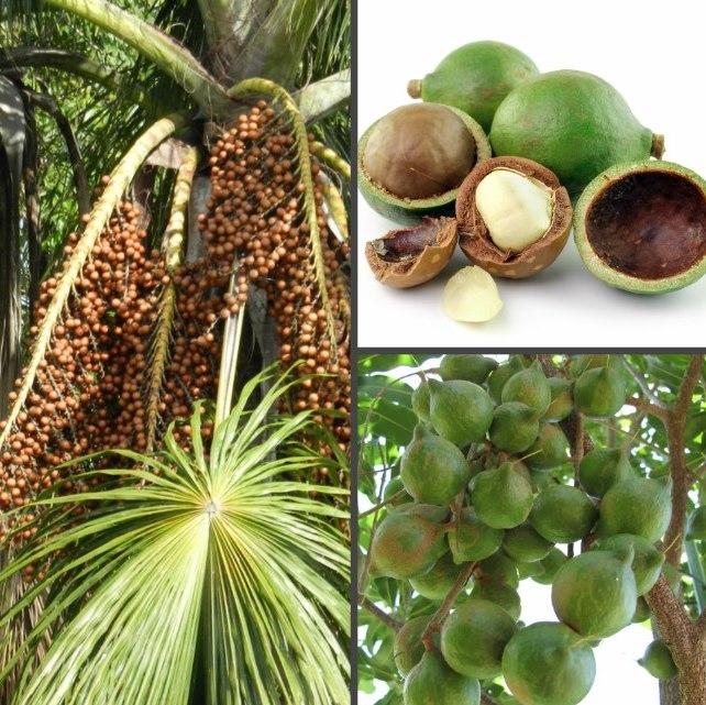 Орех макадамия – полезные свойства и возможный вред для организма