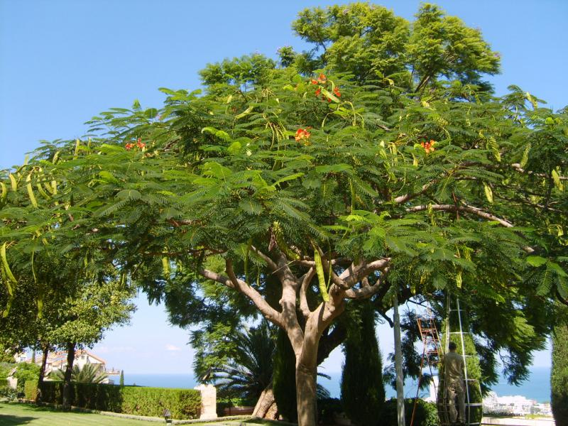 Сок стручкового дерева
