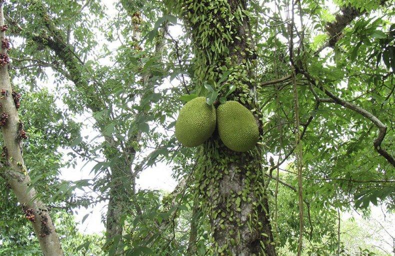 Дерево с плодами джекфрута