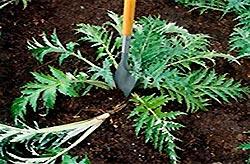 Выращиваем расторопшу на даче
