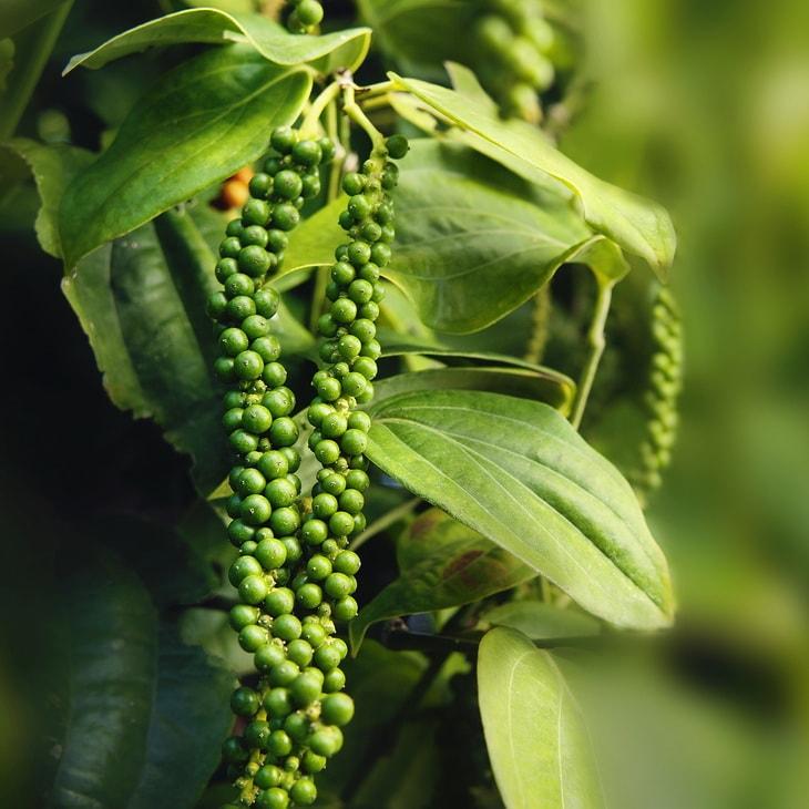 Черный перец - растение
