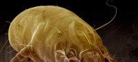 Методы борьбы с пылевыми клещами химическими и народными средствами