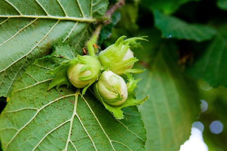 Фундук (лесные орехи) на дереве