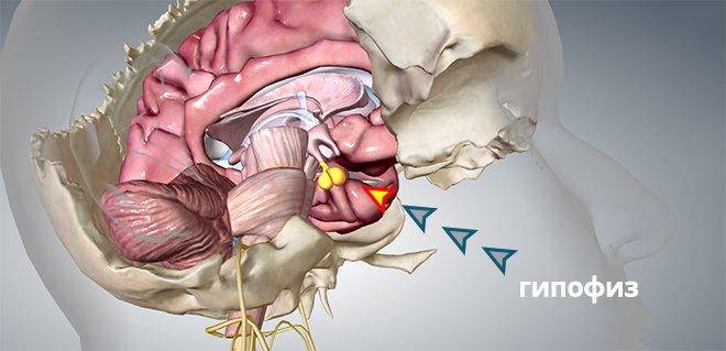 Гипофиз в мозгу