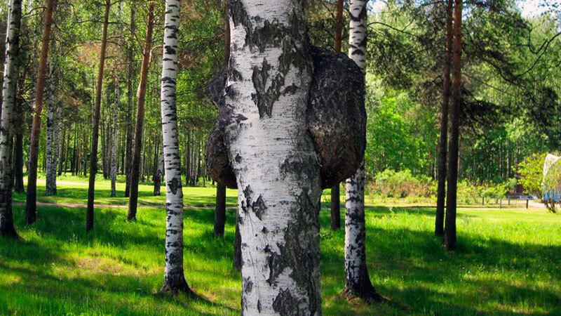 гриб чага растущий в березовых посадках