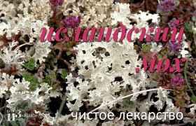 Исландский мох. Лечебные свойства. Применение. Рецепты