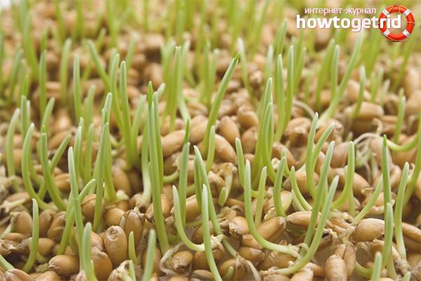 Как проращивать пшеницу
