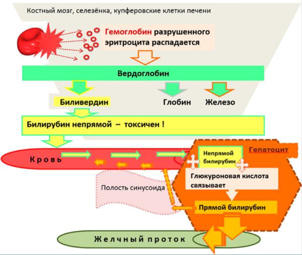 как снизить уровень билирубина в крови народными средствами