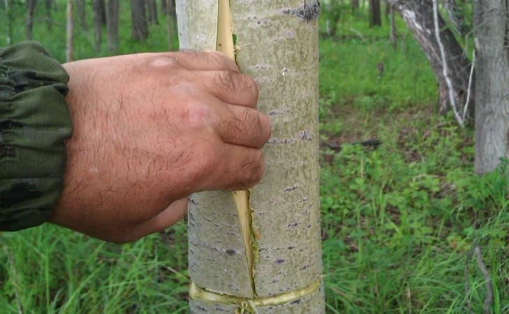 Полезные свойства коры осины