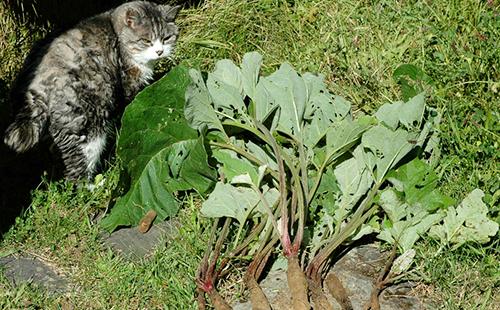 Кот инспектирует качество урожая