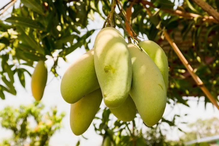 Плоды манго на манговом дереве