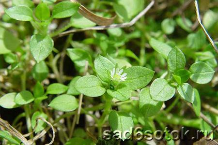 Полезные сорняки - звездчатка средняя (мокрица)