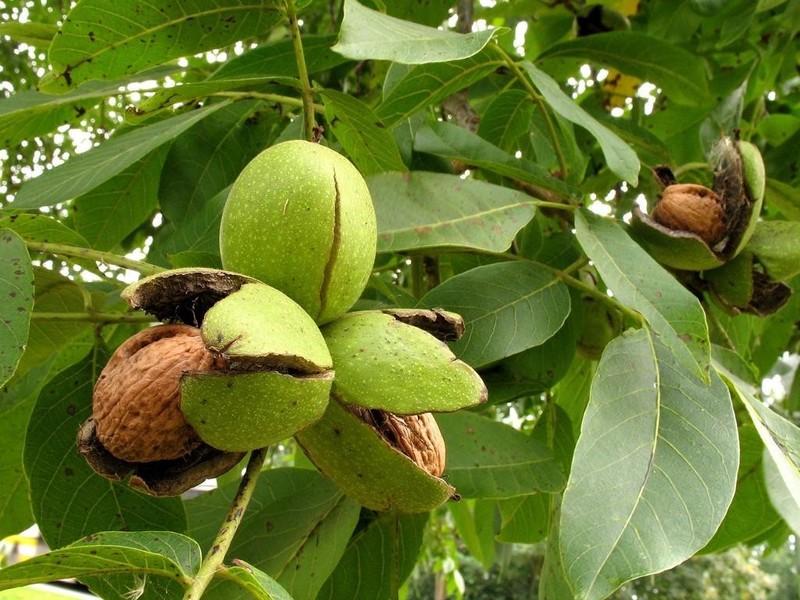 Орехи на дереве фото