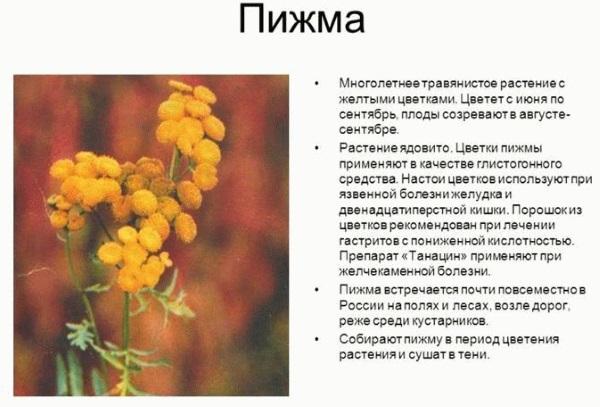 Пижма. Лечебные свойства, польза и противопоказания для женщин и мужчин. Рецепты, инструкция применения