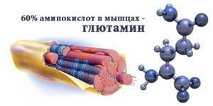 Глютамин в мышцах