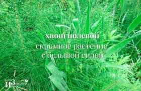 Хвощ полевой – скромное растение с большой силой