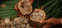 Бразильский орех: польза и вред, химический состав
