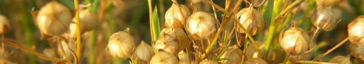 семена льна для похудения, травы