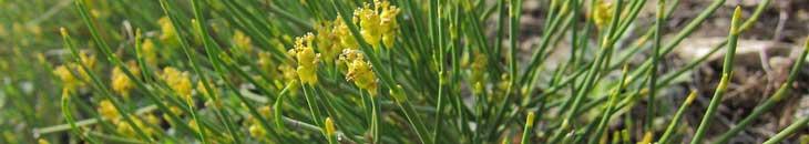 хвойник, эфедра - трава для похудения