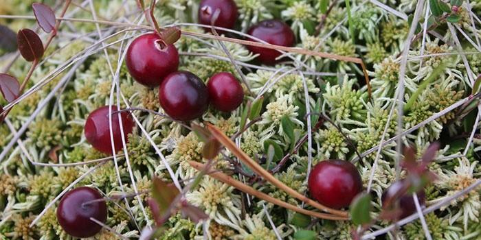 Клюква – растение рода вересковых