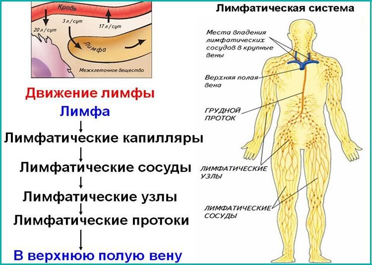 Лимфатические капиляры