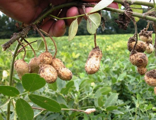 куст арахиса