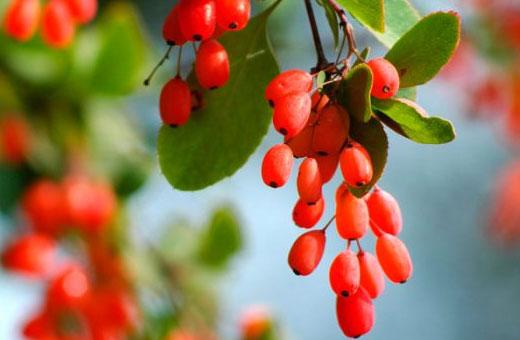 Барбарис. Лечебные свойства, применение в народной медицине. Противопоказания