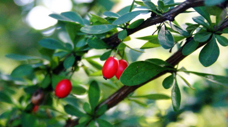 барбарис полезные свойства и противопоказания для женщин