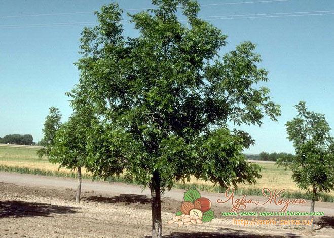 дерево пекан