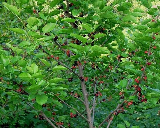 дерево тутовник - полезные свойства и противопоказания