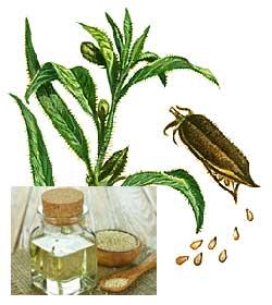 Противопоказания для приема кунжутного масла