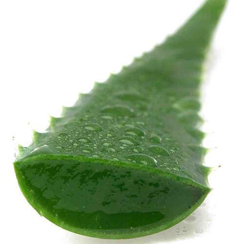 Растение алоэ от гайморита