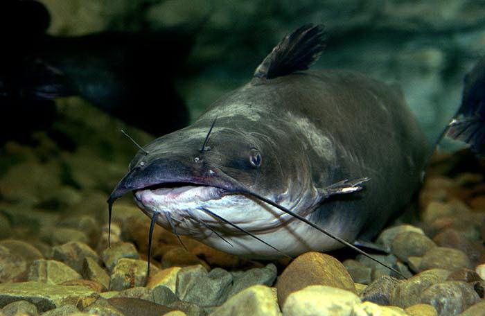 Полезные виды рыб - сом