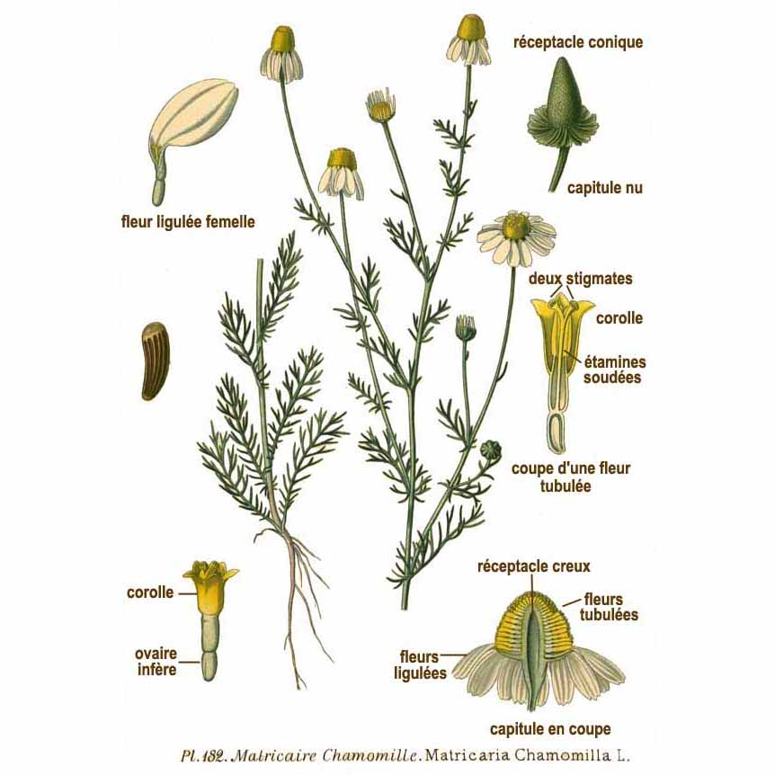 Девичий цветок из французского справочника