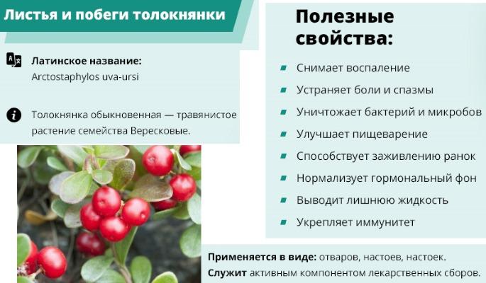 Толокнянка. Полезные свойства, как приготовить, рецепты применения и противопоказания